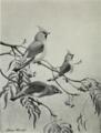 Allan Brooks Birds Illustration.png