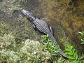 Alligator in Big Cypress National Preserve.jpg