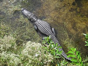 Big Cypress National Preserve - Alligator sunning below the boardwalk at the Oasis Visitor Center