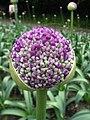 Allium Giganteum (1).jpg