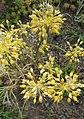 Allium flavum L.-2F.jpg