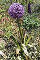 Allium giganteum 'Globemaster' (Amaryllidaceae)-2F.jpg
