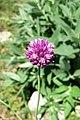 Allium nathaliae, mt. Ay-Petri, 2016.06.22 (01) (29703839135).jpg