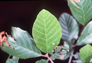 Alnus serrulata -  Alnus serrulata leaves (detailed)