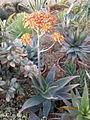 Aloe (4551792275).jpg