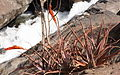 Aloe mawii - Lurio waterfall (9697074271).jpg