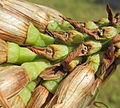 Aloe sp. Ribaue pedicels (5969024495).jpg