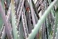 Aloe vera 1zz.jpg