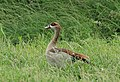 Alopochen aegyptiaca, Kruger NP 110739601.jpg