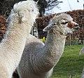 Alpacas (33621932182).jpg