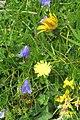 Alpine flora (Gru) (37158108593).jpg