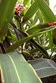 Alpinia zerumbet 6zz.jpg