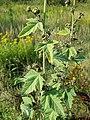 Althaea taurinensis sl44.jpg