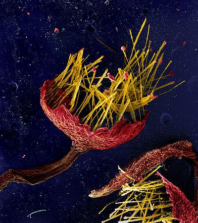 Alwisia lloydiae-2.jpg