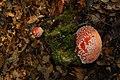 Amanita muscaria (29791637400).jpg