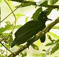 AmazonianUmbrellabird.jpg
