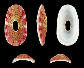 Amblychilepas platyactis 01.JPG