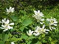 Amelanchier alnifolia (7399112126).jpg