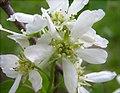 Amelanchier canadensis flowers.jpg