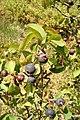 Amelanchier ovalis. Molléndanu (fueyes y frutos).jpg