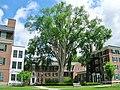 American Elm, Dartmouth College, Hanover, NH (June 2015).jpg