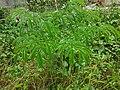 Amorphophallus paeoniifolius (Philippines) 3.jpg