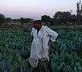An Indian farmer in his field of cauliflower. - Mapillary (FO99ZJVE9u 3t2U7NBWncg).jpg