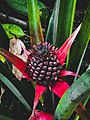 Ananas bracteatus, also known as Red Pineapples.jpg