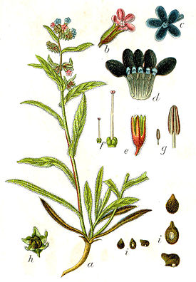 Anchusa officinalis Sturm8.jpg