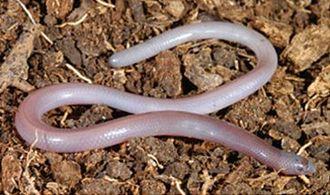 Dibamidae - Anelytropsis