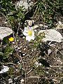 Anemone baldensis RHu 01.JPG