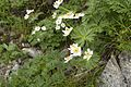 Anemone narcissiflora 32.jpg