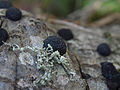 Annulohypoxylon thouarsianum (4734830778).jpg