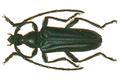 Anoplodera cyanea.png