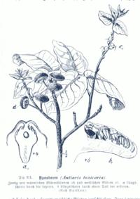 Antiaris toxicaria GS311