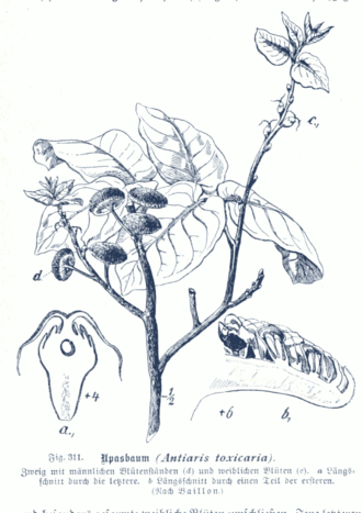 Antiaris - Antiaris toxicaria