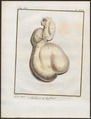 Antilope spec. - ingewanden - 1700-1880 - Print - Iconographia Zoologica - Special Collections University of Amsterdam - UBA01 IZ21400077.tif