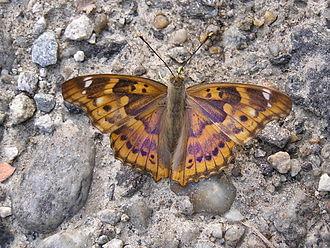 Apatura - Lesser purple emperor