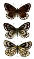 Aporia nabellica 524.png