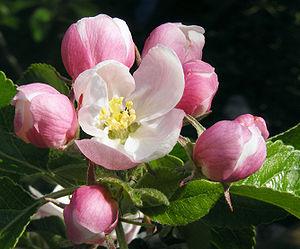 Apple blossom 02A.jpg