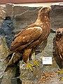 Aquila chrysaetos golden eagle IMG 2821.jpg