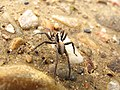 Araña corredora - Pardosa (Lycosidae) (6950317448).jpg