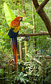 Ara macao -Happy Hollow Park and Zoo, California, USA-8a.jpg