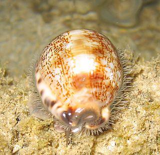 <i>Mauritia arabica</i> species of mollusc in the cowry family