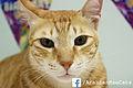 Arabian Mau Cat.jpg