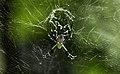 Araneidae (Orb-weaver Spider).jpg
