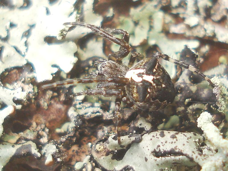 File:Araneus angulatus 01.JPG