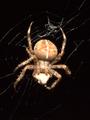 Araneus diadematus frontal 02.png