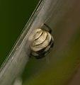 Araneus ejusmodi 22628010.jpg