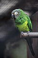 Aratinga weddellii -Jurong Bird Park, Singapore-8a.jpg